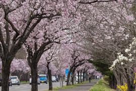 Vol.10春の陽気に誘われて! 桜ウオーキング&新緑サイクリング