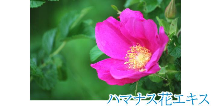 ハマナス花エキス