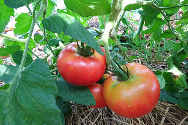 無かん水完熟トマト収穫体験01