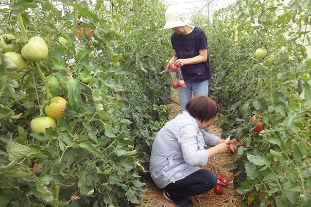 無かん水完熟トマト収穫体験02