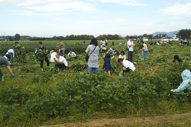 秘伝豆収穫体験
